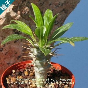 多肉植物 塊根植物 種子 種 Pachypodium Lamerei var. Ramosum パキポディウム ラモスム マダガスカル 種子 10粒