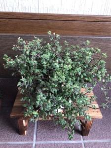 多肉植物 クラッスラ ブロウメアナ(ペキュリアリス)をカット苗30本です 寄せ植えにも♪