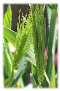 自家採種 麦の種 観賞用 30粒 切り花 ドライフラワー 2021/5月採取 秋蒔き ④