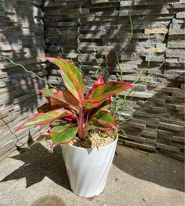 現品1鉢!!タイの宝石 開運植物アグラオネマ サイアムオーロラ&ラセンイ 寄植え 風水植物