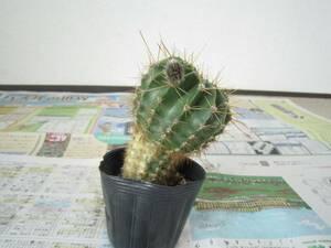 助けてください。花サボテン 土の上からの高さ約11cm 多肉植物 鉢植え 鉢付き B 植物 [hmq