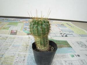助けてください。花サボテン 土の上からの高さ約12cm 多肉植物 鉢植え 鉢付き E 植物 [hmt