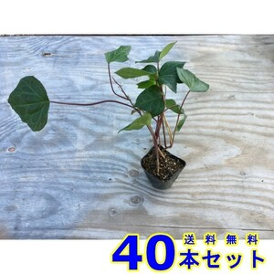 ヘデラカナリエンシス (アイビー・オカメヅタ) 10.5p 40本 グランドカバー 下草 雑草予防