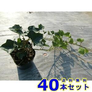 ヘデラヘリックス (セイヨウキヅタ・アイビー) 10.5p 40本 グランドカバー 下草 雑草予防