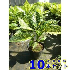 植木 フイリアオキ (斑入りアオキ) 15.0p 10本 樹高0.3m前後 15.0p 植木 苗木 シンボルツリー 生垣