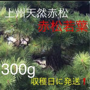 群馬県産天然無農薬の赤松松葉 新芽300g!収穫日に発送!次回10/18収穫発送予定