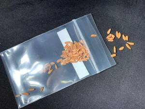 【送料無料】種子 20粒 パキポディウム エブレネウム Pachypodium eburneum No.1