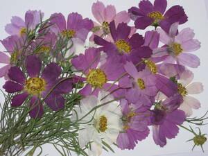 засушенный цветок материалы 3999 Cosmos