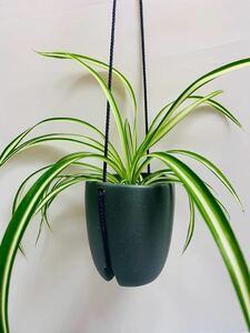 オリズルラン ハイドロカルチャー ハンギングプランター観葉植物