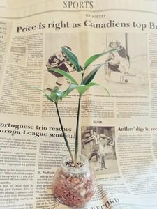 ハイドロカルチャー ナギの木