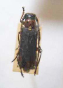標本 539-70 稀少 1点モノ 産地不明 カミキリムシ Cerambycidae 体長約13.7mm 訳有り特価