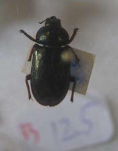標本 531-33 産地不明 Platycerus クワガタ 約12.5mm 訳有り特価