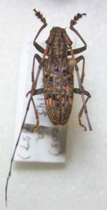 標本 249-77 稀少 1点モノ タイ産 Pharsalia subgemmata 体長約20.7mm 訳有り特価