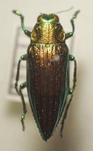 標本 541-A20 稀少 インドネシア産 美麗 Chysodema radians 体長約26.3mm 現状特価