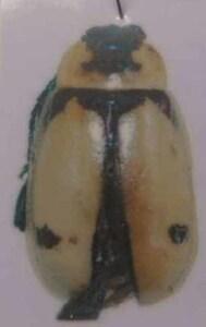 標本 624-33 稀少 ブラジル産 ハムシの一種 約5.3mm 現状特価