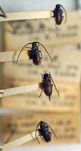 標本 417-11 ラスト1点 稀少 福島県産 クリイロチビケブカカミキリ 4ex 現状特価