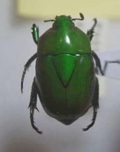 標本 29-64 稀少 プカルパ産 Macraspis splendens 体長約19.1mm 現状特価