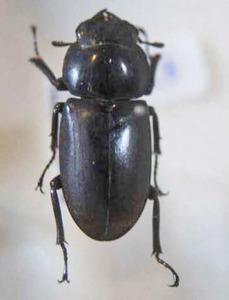 標本 534-53 稀少 神奈川県産 クワガタ Lucanidae♀ 体長約23.6mm 現状特価