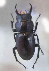 標本 534-51 稀少 山梨県産 クワガタ Lucanidae 体長約27.5mm 現状特価