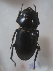 標本 360-26 産地不明 クワガタ Lucanidae 約24.1mm 現状特価