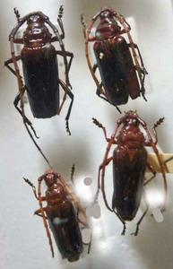 標本 599-45 イキトス産 カミキリムシ Cerambycidae 4ex 現状特価