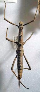 標本 460-16 激レア 1点モノ ペルー産 ナナフシの一種 体長約68.9mm 訳有り特価