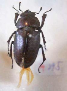 標本 533-34 稀少 神奈川県産 クワガタ Lucanidae 体長約24.5mm 現状特価