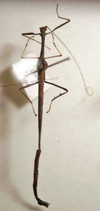 標本 608-20 激レア 1点モノ マナウス産 ナナフシの仲間 体長約60.1mm 現状特価