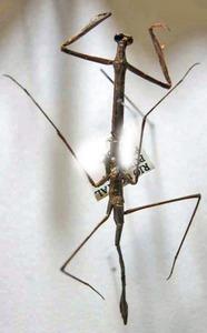 標本 608-3 激レア ペルー産 カマキリの仲間 体長約58.6mm 訳有り特価