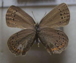 標本 186-43 稀少 産地不明 Strymonidia herzi 開張約31.2mm 訳有り特価