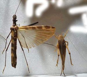 標本 460-6 稀少 ペルー産 ナナフシ&バッタの仲間 2ex 訳有り特価