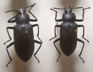 標本 148-45 稀少 イキトス産 ゴミムシの仲間 2ex 現状特価
