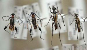 標本 334-8 稀少 マレーシア産 カミキリムシ Cerambycidae 4ex 現状特価