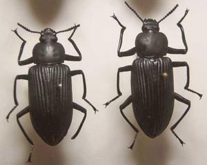 標本 148-46 稀少 イキトス産 ゴミムシの一種 2ex 現状特価