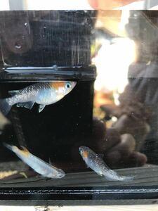 【元気めだ係CO.】静楽庵様購入個体 直系 オーロラ黄ラメ幹之メダカ10匹 体長約1cm ☆リーズナブル幼魚 ☆写真が親個体です
