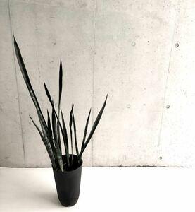 多肉植物 サンスベリア オーストラリアンブラック H160cm 7号 送料無料!