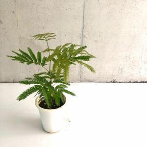 観葉植物 エバーフレッシュ H45cm 5号 インテリア SALE!送料無料!