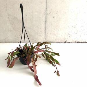 多肉植物 リプサリス ラムローサ H23cm 4号 インテリア 希少 送料無料!