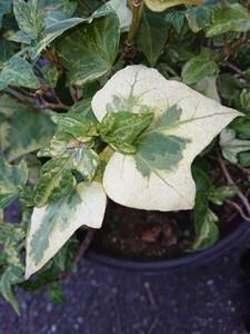 ヘデラ 斑入り植物 アイビー