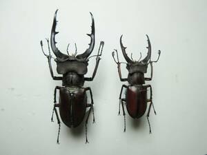 標本 ベトナム産 ルックミヤマクワガタ 64.5、45.8 2♂