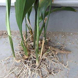 130g「ハラン/葉蘭/葉ラン」根茎 常緑多年草 下草/観葉植物