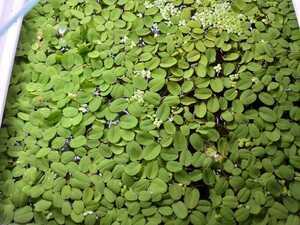 ☆無農薬・育成簡単・浮草! オオサンショウモ サルビニア 60cm水槽の水面埋め尽くす程度 大量☆