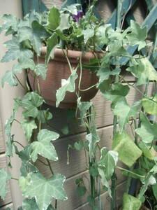 観葉植物 イングリッシュアイビー(ヘデラ)班入りです、寄せ植え
