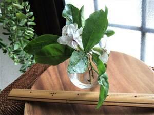 送料無料 ニオイバンマツリ 挿し穂4本~追加OK 紫~白のジャスミンのような良い香りのお花がたくさん咲きます 挿し木用苗