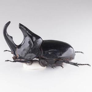 T. l. alcides 14 オオツノメンガタカブト標本 カリマンタン島