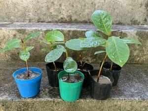 残りわずか マジックリーフ(モモタマナ)実生苗・1株・種子発芽 3ヶ月経過
