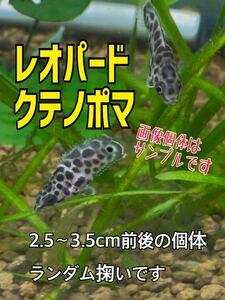 3日間限定!お値下げセール!レオパードクテノポマ/Ctenopoma acutirostre/ブリード個体/2.5~3.5cm前後の個体、ランダム掬いです