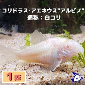 熱帯魚 コリドラス・アエネウス アルビノ 白コリ 1匹 ※雄雌のご指定不可