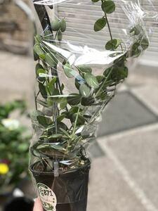 ラスト在庫 グリーンドラム 観葉植物 多肉植物