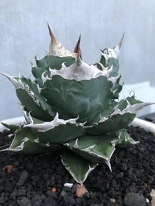 16-3 特選子株! アガベ チタノタ 多肉植物 白火焔 ホワイトファイヤー agave titanota white fire